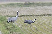 Hooded crane and Common crane in a field Japan