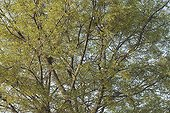 Crown of europan Hackberry in the spring France