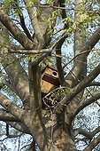 Nest box in the branches of an europan hackberry France
