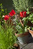 Red Tulips in bloom in a toppled flower pot France