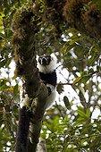 Southern Black-and-white Ruffed Lemur Madagascar