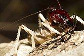 Cricket Loky-Manambato Daraina Madagascar