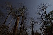 Baobab trees in the protected area Menabe-Antimena Madagascar