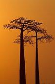 Grandidier Baobabs at dusk Madagascar