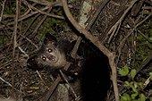 Aye-aye on a branch at night Madagascar