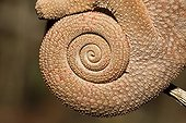 Close-up of the tail of a Panther chameleon Madagascar