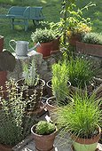 Aromatic plants cultivated in pots France