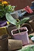 Seedling of Squash in pot in a gardenFrance