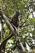 Common Brown Lemur on a branch Madagascar