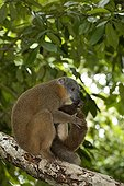 Maki brun à collier mangeant une Iule à Madagascar