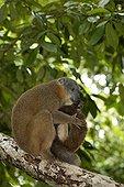Collared Brown Lemur eating a Iulus Madagascar