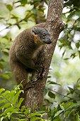 Maki brun à collier dans un arbre Madagascar