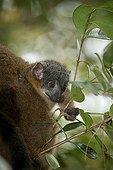 Jeune Maki brun à collier dans un arbre Madagascar