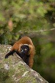 Red Ruffed Lemur Masoala NP Madagascar