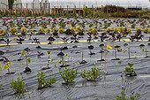 Plastic mulch in an horticultural nursery France