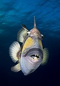 Titan triggerfish swimming Tuamotu