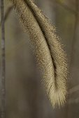 Tail of Red-fronted brown lemur Menabe Antimena Madagascar