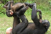 Female Gracile Chimpanzee playing with his young Congo