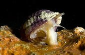 Snail crawling on a seabed Tuamotu