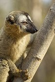 Red-fronted brown lemur on a trunk Kirindy Madagascar