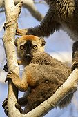 Young Red-fronted brown lemur Menabe Antimena Madagascar