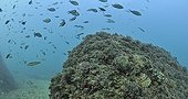 Bigscale scorpionfish Medes Islands Spain Mediterranean Sea