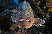 Dusky Grouper Medes Islands Spain Mediterranean Sea