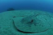 Common Stingray on sandy bottom Indian Ocean South Africa