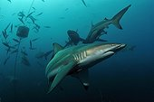 Blacktip Sharks swimming Indian Ocean South Africa