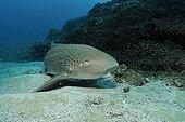 Zebra shark on sandy bottom Indian Ocean South Africa