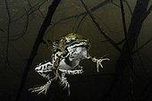 Green Frog mating Prairies du Fouzon France ; Price Other Wildlife Montier-en-Der 2011