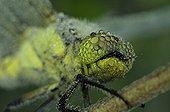 Dewy Club-tailed Dragonfly Prairies du Fouzon France