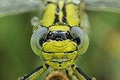 Portrait of Club-tailed Dragonfly Prairies du Fouzon France