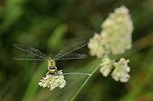 Club-tailed Dragonfly on grass Prairies du Fouzon France