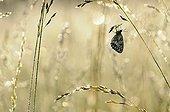 Marbled White on grass Prairies du Fouzon France
