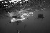 Sailfish hunting Sardines Isla Mujeres  Mexico