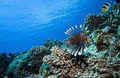 Red lionfish swimming near a reef Tuamotu Polynesia