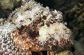 Poss's scorpionfish Tuamotu Polynesia