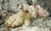 Camouflaged False stonefishes Tuamotu