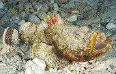 Camouflaged False stonefishe Tuamotu