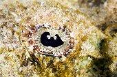 Eye of False stonefishe Tuamotu