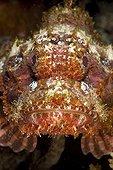 Portrait of Papuan scorpionfish Tuamotu