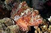 Papuan scorpionfish Tuamotu