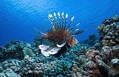 Red lionfish swimming near a reef Tuamotu