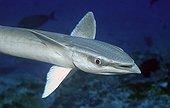 Sharksucker swimming French Polynesia