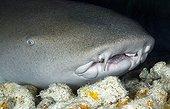 Tawny nurse shark resting Tuamotu