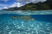 Blacktip reef shark swimming under the surface of water