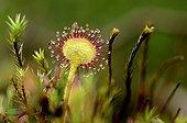 Rossollis round-leaved bog in the Vosges France
