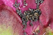 Black Garden Ant milking aphids on a Peony France ; The fate of the abdomen honeydew of the aphid and the ant retrieves
