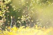 European Rabbit alerted in the brush France